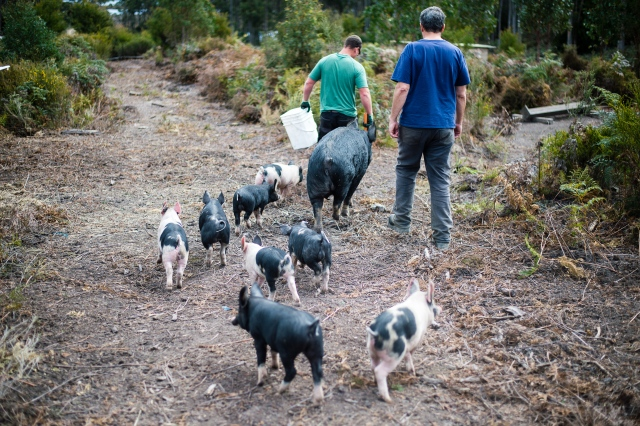Sam and Paul with pigs