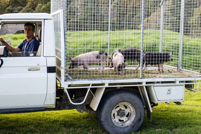 Transporting the baby pigs (photo by Callan Back)